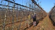 В ООО «Сад-Гигант Ингушетия» полным ходом идет обрезка яблонь.